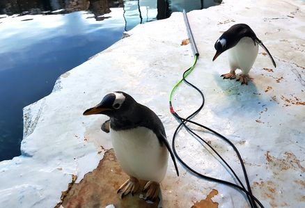 Eselspinguine im Odense Zoo